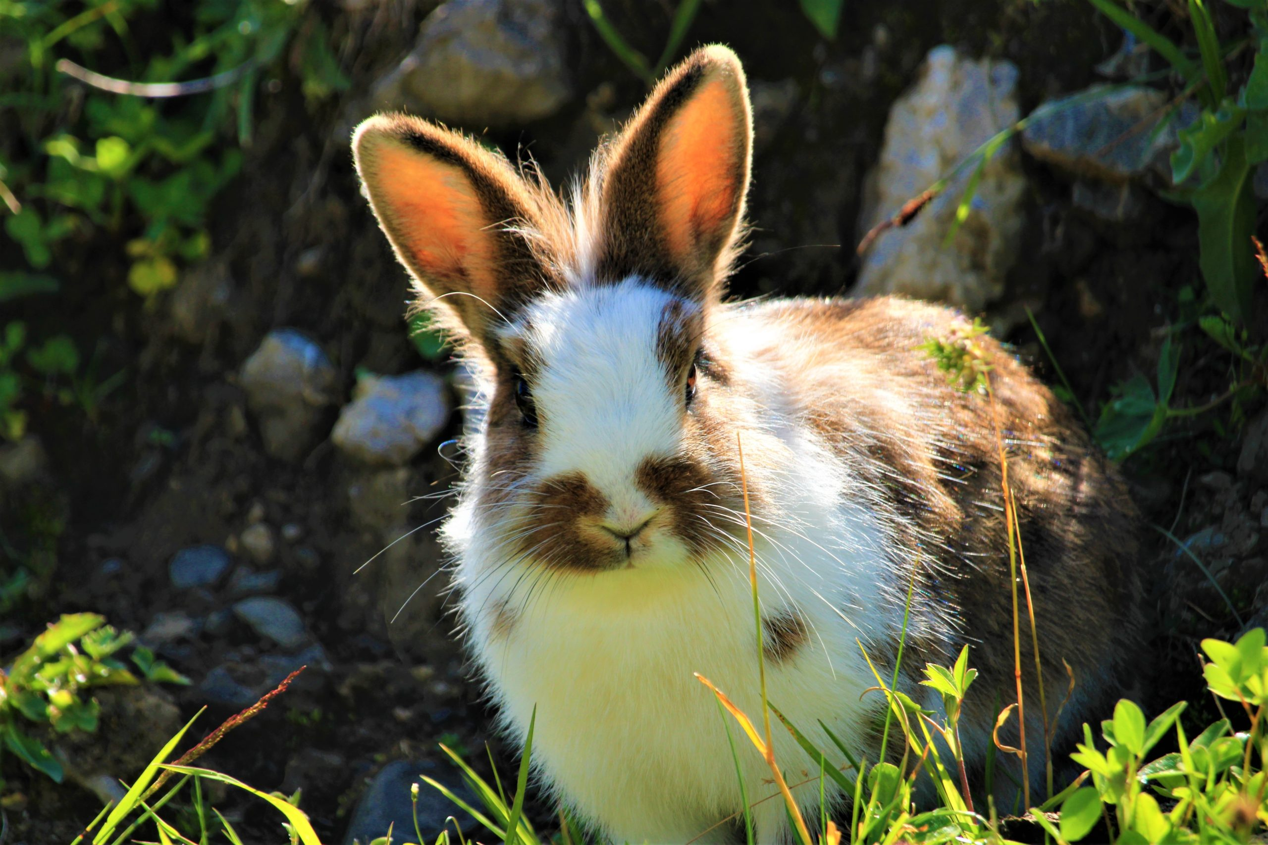 white and brown bunny sitting in grass on a spring day.