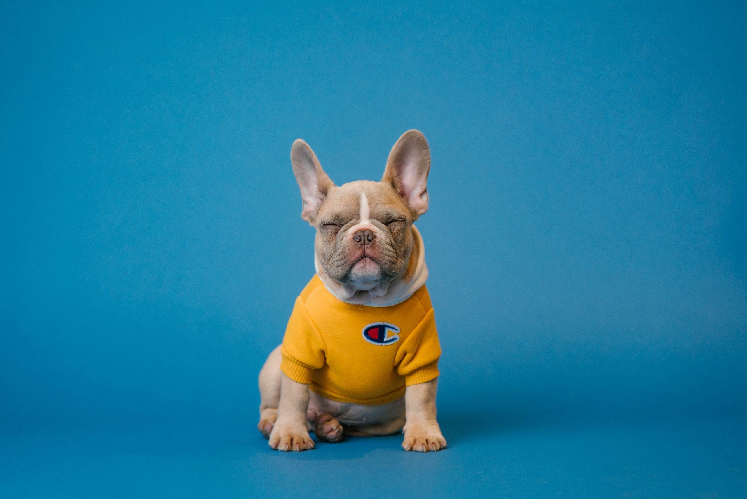 French Bulldog Dressed in T-Shirt